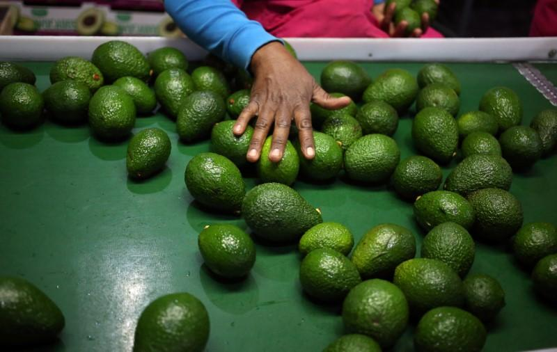 A worker sorts avocados at a farm factory in Nelspruit in Mpumalanga province, about 51 miles (82 km) north of the Swaziland border, South Africa, June 14, 2018.  Picture taken June 14, 2018. Siphiwe Sibeko