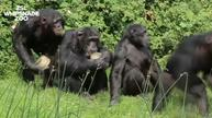 Chimps and bears cool down with ice lollies at UK zoo