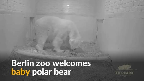 Berlin zoo welcomes baby polar bear