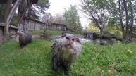 Otters learn by copying 'friends'