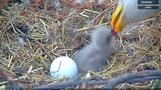 Eaglet born to bald eagles Liberty and Justice in Washington D.C.
