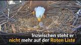 Nachwuchs bei den Weißkopfseeadlern