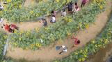 Sunflower maze draws tourists to Philippines