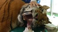Tiger in Hungarian zoo treated with stem cells for pain relief