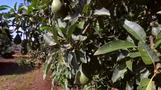 Avocado - South Africa's green gold