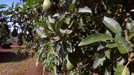 Avocado - South Africa's green gold