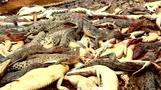 インドネシアでワニ292匹を虐殺、死亡男性の「敵討ち」(字幕・16日)