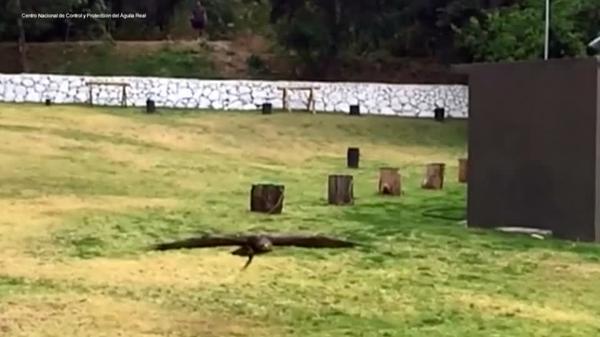 Golden eagle DNA sequenced