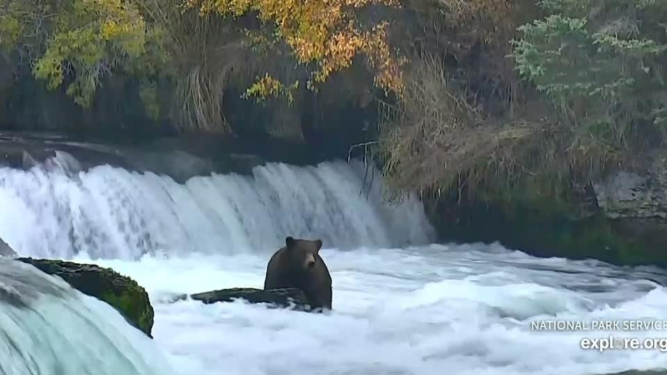Alaska's brown bears prepare for hibernation this winter