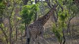 Giraffe-spotting drones to survey threatened species