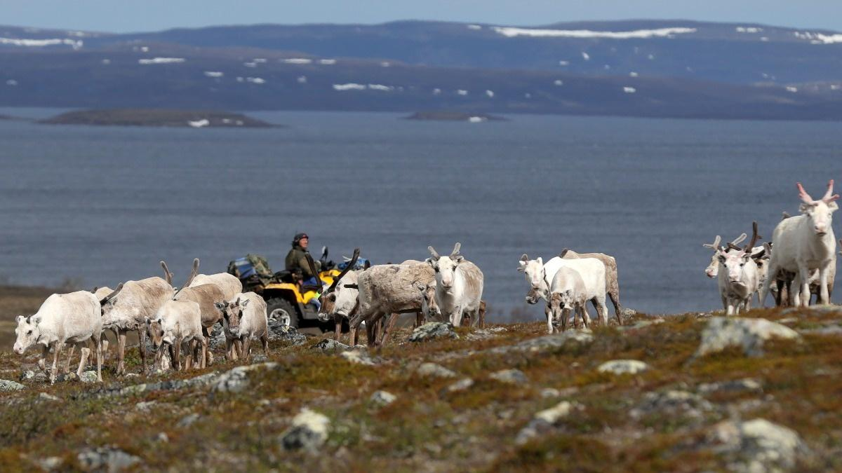 A hard choice in the Arctic: mining or reindeer?