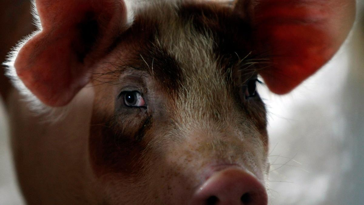 Scientists restored activity to dead pigs' brains