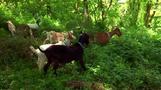 ニューヨークの公園、夏のインターンは「ヤギ」24匹(24日)