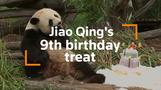 Panda spoiled with special birthday cake