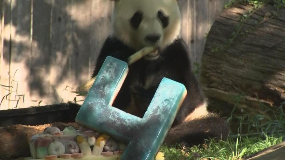 BeiBei the giant panda turns four