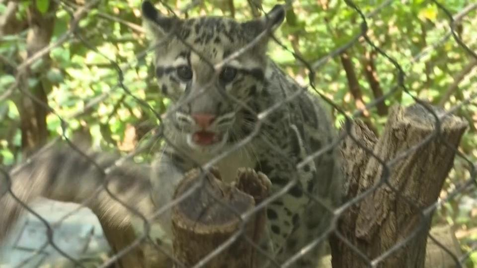 Clouded leopards explore new home at National Zoo
