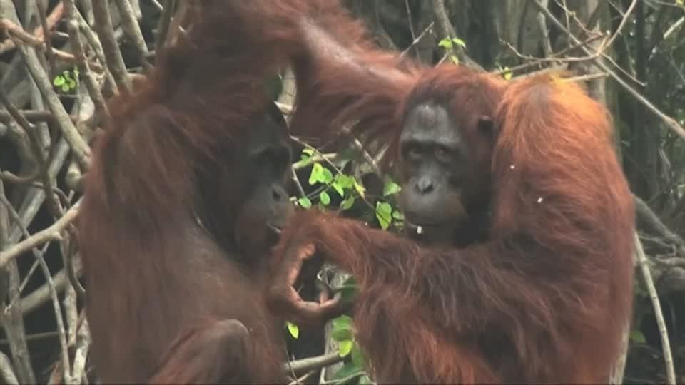 Orangutans suffer in Indonesian smog