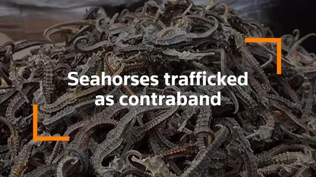 Millions of dried seahorses seized on ship in Peruvian port