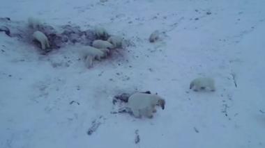 痩せたホッキョクグマの群れがさまよう、氷が溶けアザラシ狩れず(字幕・7日)