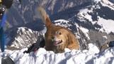 スイスの救助犬、雪崩の季節に備えてアルプスで訓練(字幕・9日)