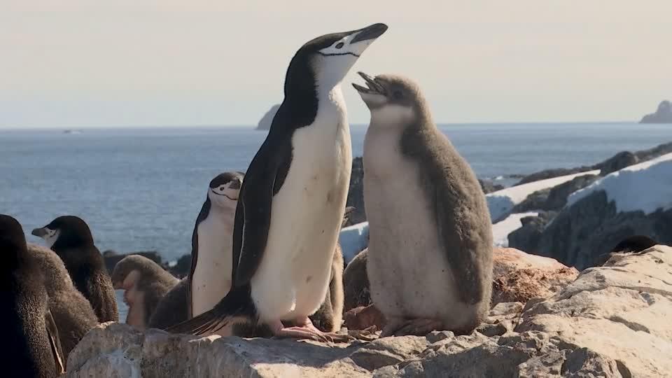 Antarctic penguin count reveals dramatic decline