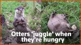 Otters 'juggle' stones when hungry, research shows