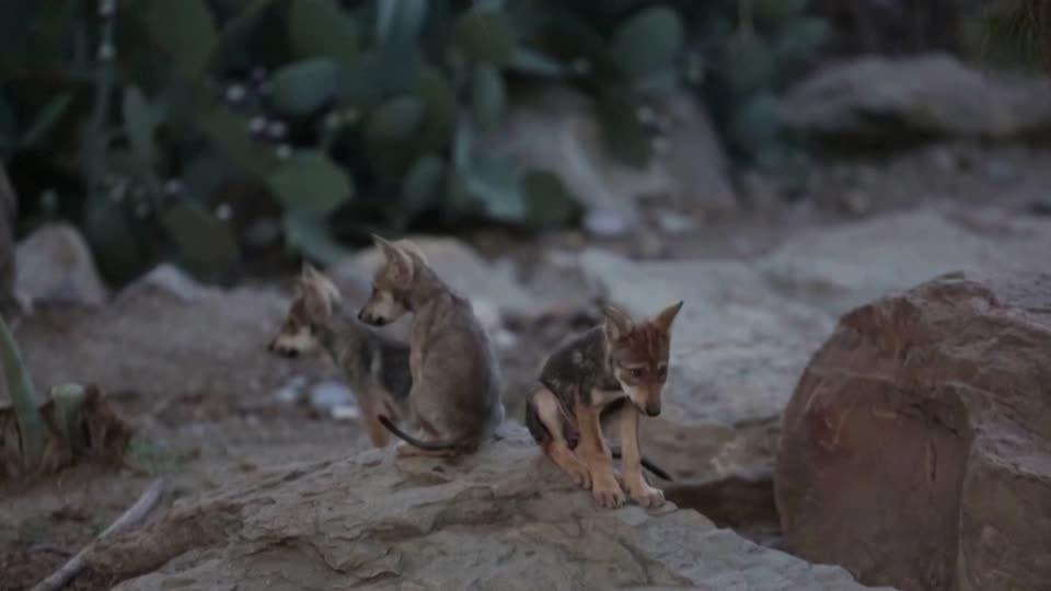 Endangered Mexican wolf pups enjoy play time