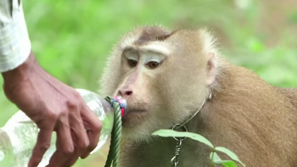 Thailand denies monkey labor used in coconut harvest