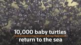 10,000 baby turtles get first taste of the sea