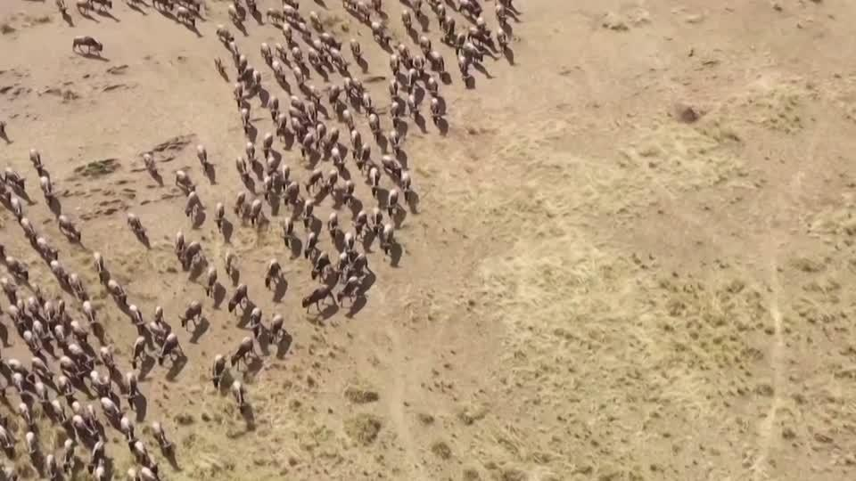Wildebeest migrate, but who's there to watch?