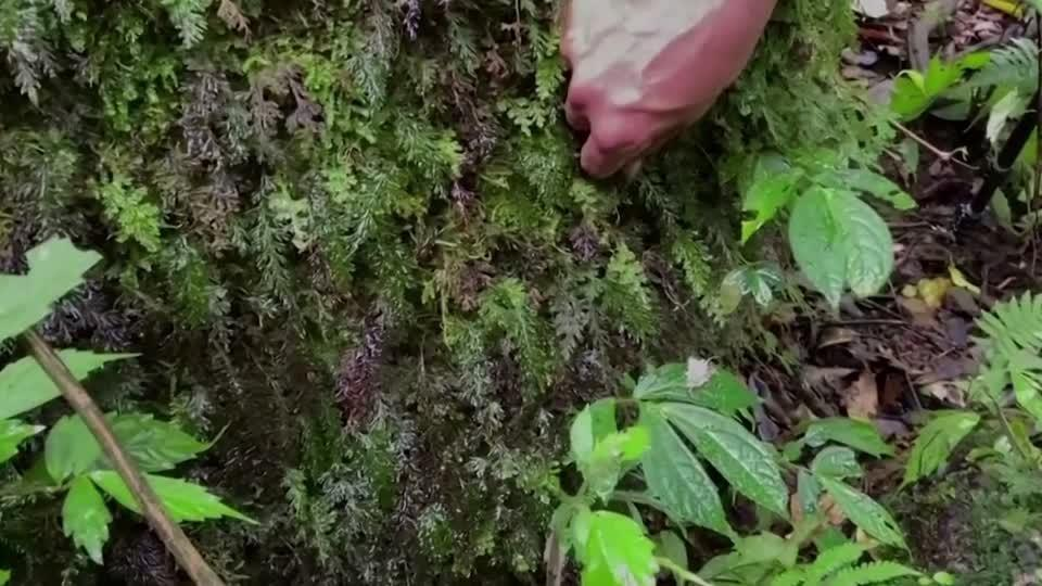 Taiwan's plant hunters race to protect biodiversity