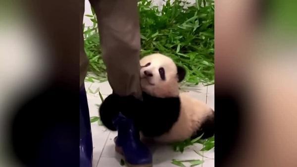 「行かないで!」飼育員の足にしがみつくパンダの赤ちゃんが話題 韓国(字幕・25日)