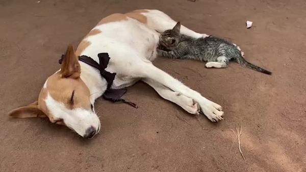子ネコ、イヌからお乳をもらう ナイジェリア(字幕・24日)
