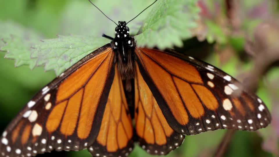 Monarchs arrive in Mexico, but not tourists