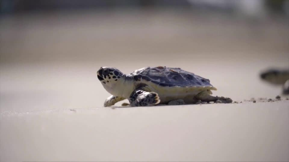 Dubai conservation group protects endangered sea turtles
