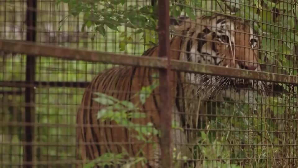 Rescued tiger finds new home in Netherlands