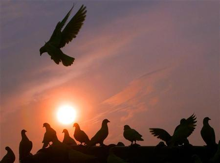 Pigeons gather on the rooftop of a building at sunset in Guangzhou April 3, 2004. Scientists in eastern China say they have succeeded in controlling the flight of pigeons with micro electrodes planted in their brains, state media reported on Tuesday. REUTERS/China Photos