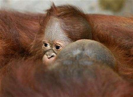 Five-day-old male baby orangutan, yet unnamed, plays with his mother at Indonesia's Gembiraloka Zoo in Yogyakarta November 8, 2007. Climate change will hurt Indonesia's orangutan population, already under threat from the rapid rate of deforestation, by reducing their food stock, a leading conservation group said on Wednesday. REUTERS/Dwi Oblo