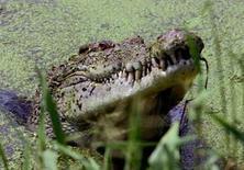 <p>Vingt-six crocodiles appartenant à une espèce menacée ont été retrouvés morts ces trois derniers jours dans le nord de l'Inde, victimes selon les experts d'une cirrhose du foie, rapportent les autorités. /Photo d'archives/REUTERS/David Gray</p>