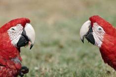 <p>Попугаи на венесуэльском острове Коче в Карибском море 30 апреля 2006 года. Белорусские пограничники не впустили в страну 277 волнистых попугайчиков, которых неизвестный пытался тайно ввезти на велосипеде, сообщил представитель погранвойск. (REUTERS/Francesco Spotorno)</p>