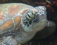 <p>Una tartaruga verde in Malaysia. REUTERS/David Loh</p>