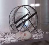 """<p>On savait les services de sécurité du Kremlin accoutumés aux """"taupes"""". Mais aujourd'hui ce sont 3.200 souris blanches, femelles et pesant moins de 18 grammes, qu'ils réclament. Pour certains, les petits rongeurs pourraient servir de nourriture aux faucons chargés de chasser les corbeaux indésirables dans l'enceinte du Kremlin, mais la thèse est guère convaincante. /Photo d'archives/REUTERS/Fred Prouser</p>"""