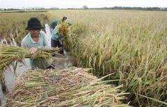 <p>Alcuni contadini che raccolgono del riso in Indonesia. REUTERS/Crack Palinggi (INDONESIA)</p>