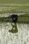 <p>Mondina in una risaia della provincia Java Ovest, Indonesia. Aprile 2008. REUTERS/Beawiharta</p>