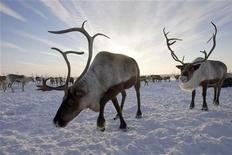<p>Renne nei pressi del villaggio di Gornokniazevsk nella penisola di Yamal, nel circolo polare artico. REUTERS/Vasily Fedosenko</p>
