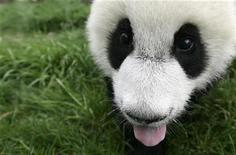 <p>A panda cub sticks out its tongue after drinking a bowl of milk is seen at the Chengdu Research Base of Giant Panda Breeding in Chengdu, Sichuan province, April 17, 2008. REUTERS/Alfred Cheng Jin</p>