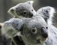 <p>Una mamma koala con il suo cucciolo. REUTERS/Yuriko Nakao (JAPAN)</p>