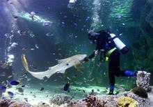 <p>Un sub gioca con uno squalo leopardo, all'Acquario di Sydney. REUTERS/Mark Baker</p>