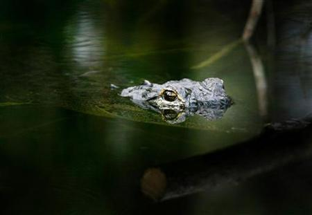 A crocodile observes at the water surface in the Florida's Everglades, near Miami, in this file photo from February 2, 2005. REUTERS/Carlos Barria