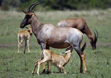 <p>Immagine d'archivio di antilopi. REUTERS/Laszlo Balogh(KENYA)</p>